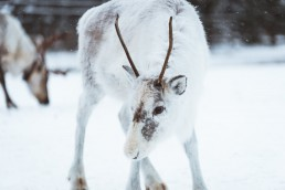 reindeer with white fur surrounded by snow