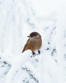 orange bird sitting on a snow covered branch